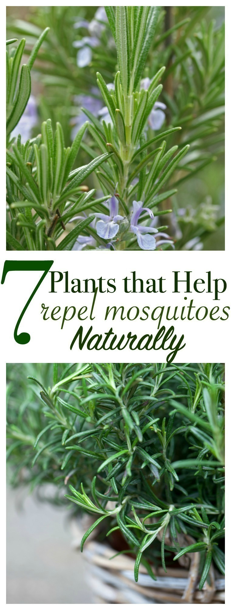 Grow a garden full of your own natural pest control with these plants that repel mosquitoes naturally. Here are 7 mosquito-repelling plants that you need in your backyard ASAP.