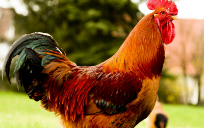 Chicken is something that you may find in almost every household in America - but how do you find the best, most healthiest chicken for your family?
