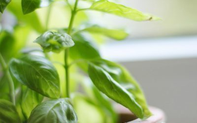 Basil is one of the easiest herbs to grow and amazing to use all year long. Find out how to freeze basil to use all year long.