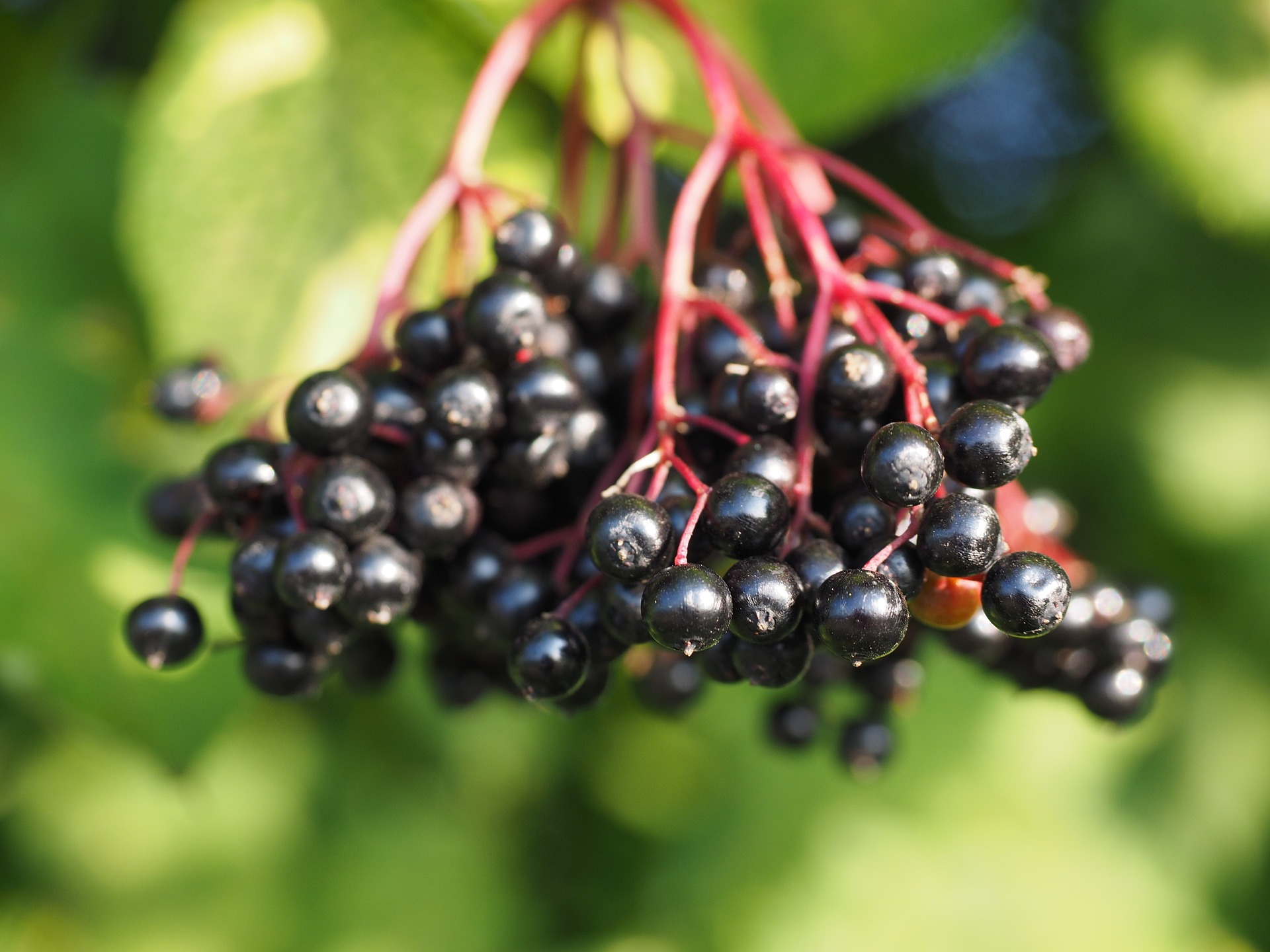 Elderberry Syrup is a must have in any natural medicine chest. Find out how to make your own elderberry syrup at home for cold and flu prevention!