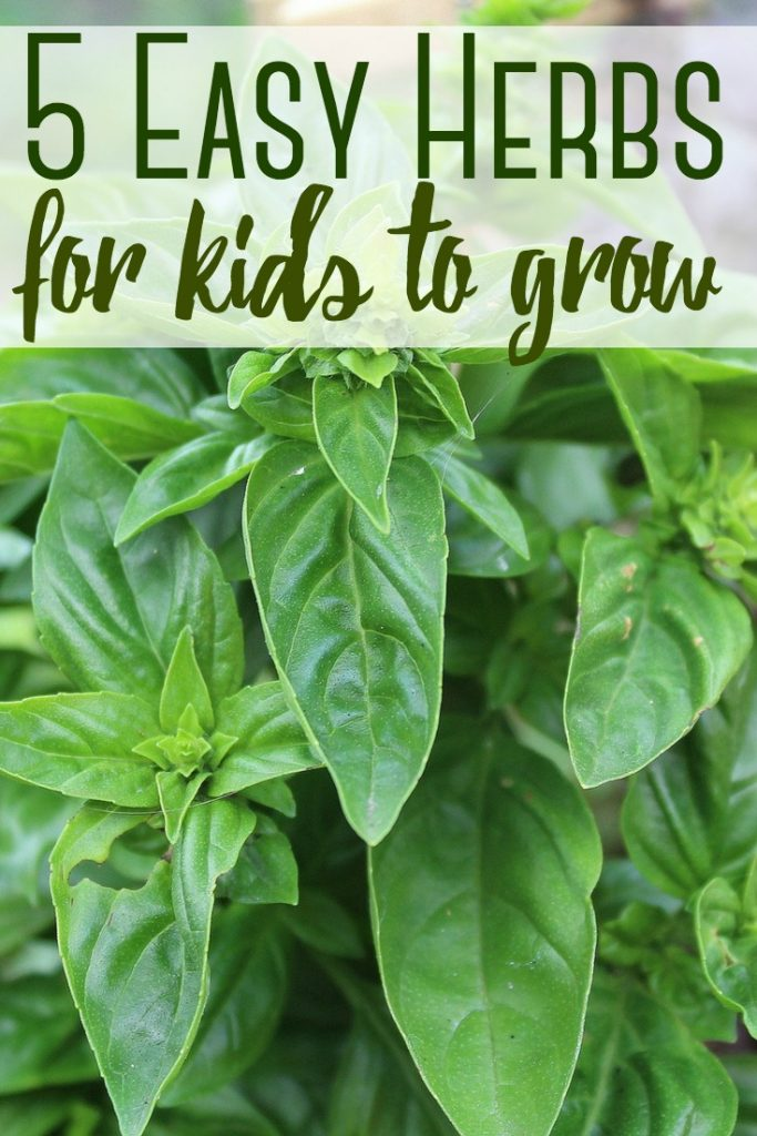 Teaching your children how to garden is a great way to help them understand where their food comes from! Here are 5 herbs that are easy for kids to grow!