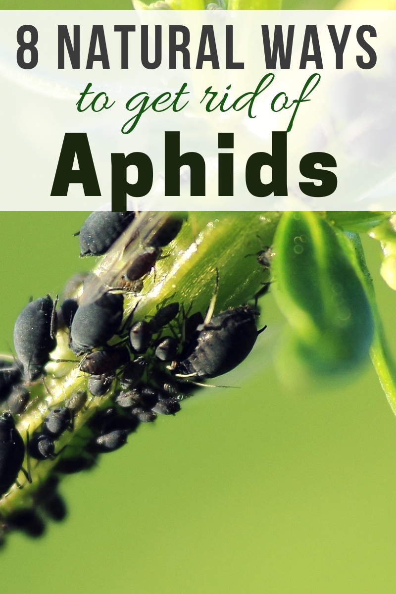 Aphids can cause serious havoc and destruction in any garden. Here are 8 natural ways to get rid of aphids in your garden.