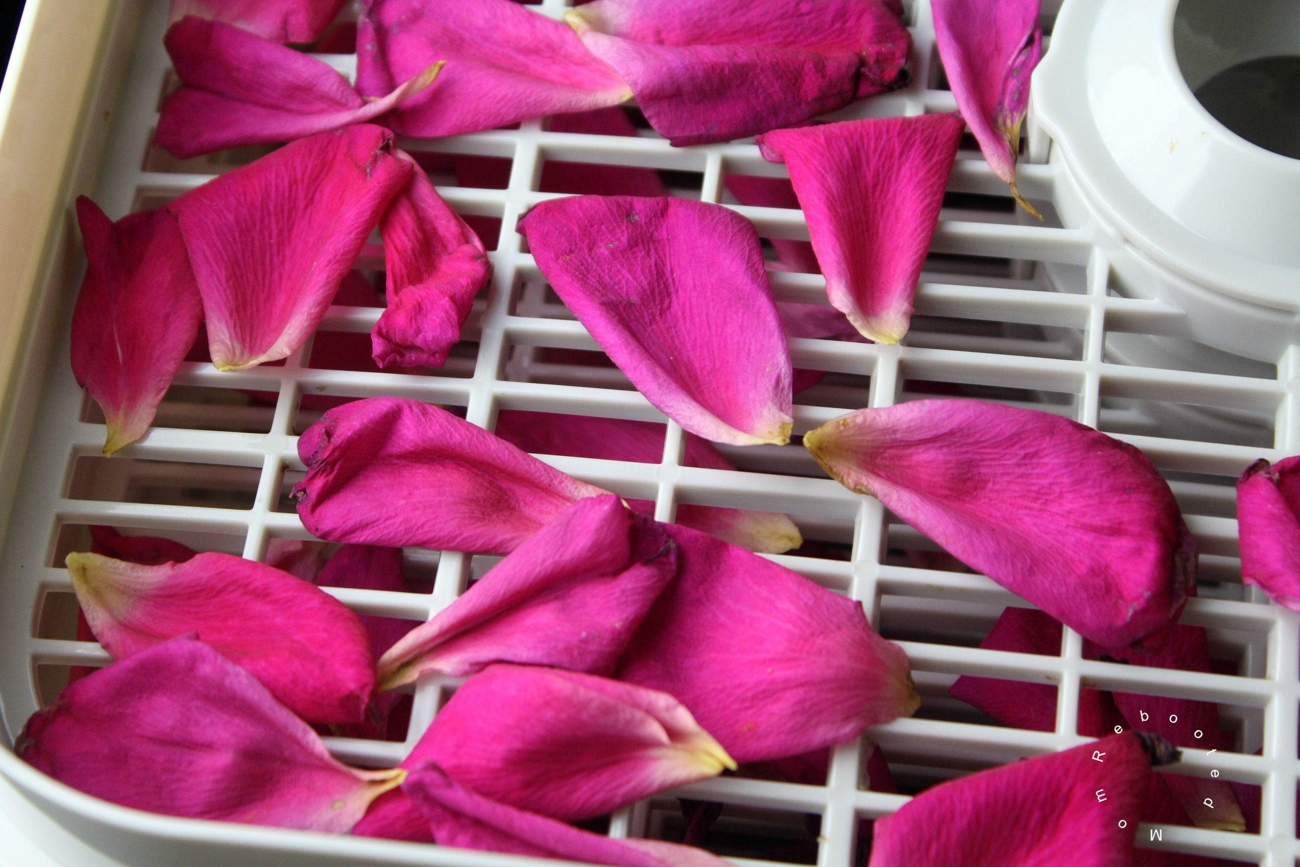 Here's everything you need to know about drying rose petals for tea, crafts and making your own rose-infused kombucha brew.