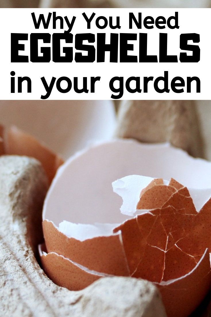 Don't throw those leftover eggshells away! Here are four easy and useful ways to use eggshells in your vegetable and flower garden.