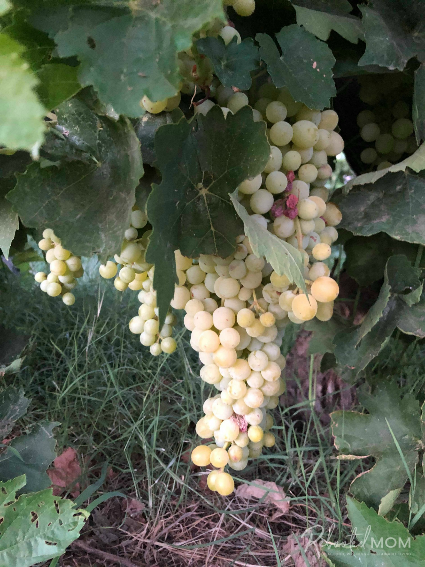 Grapes in an Arizona field