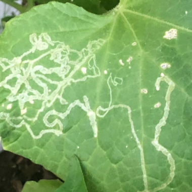How to Get Rid of Leafminers Naturally